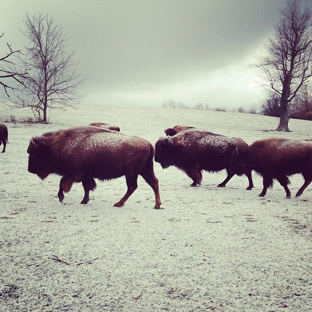 Buffalo Morning
