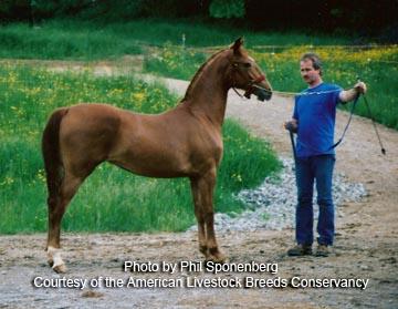 Hackney-horse